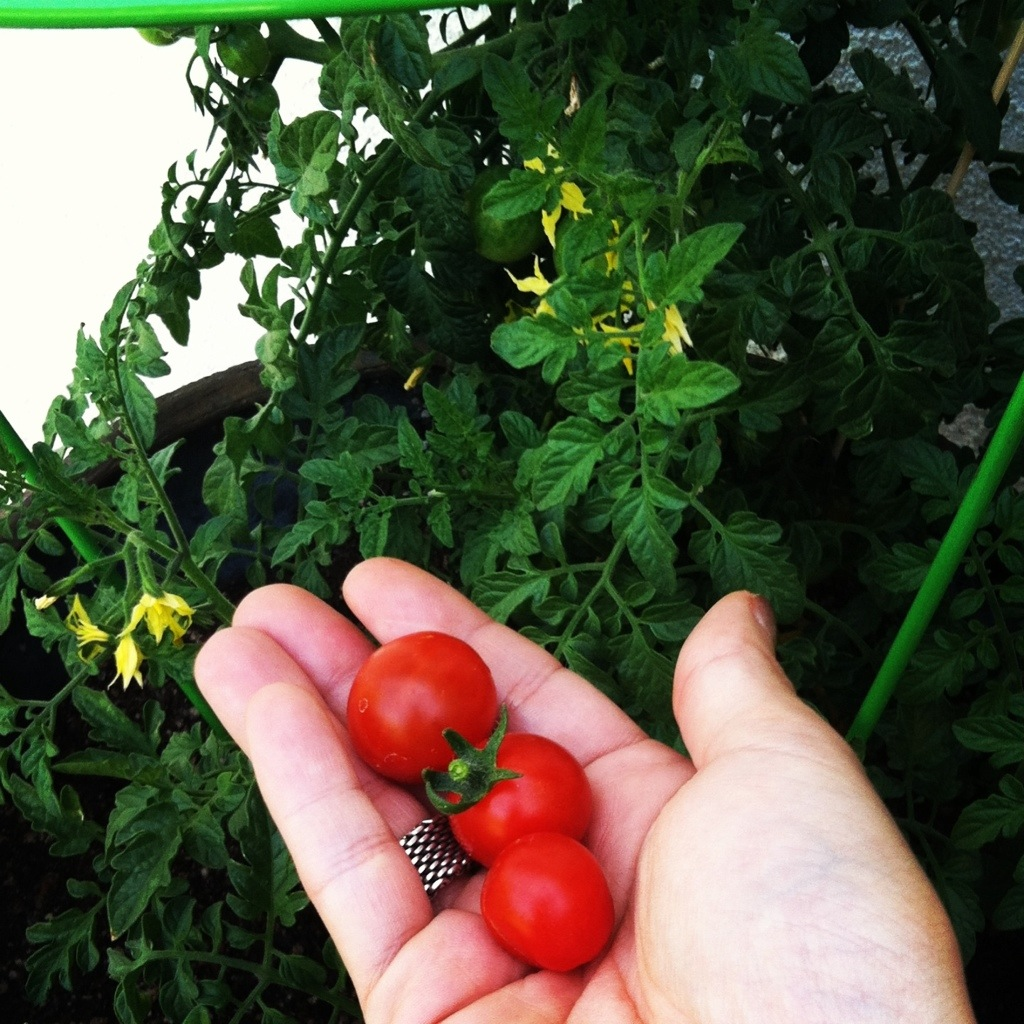 ... How To Grow Tomatoes In Containers